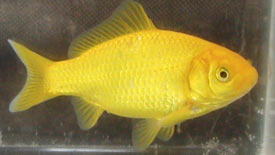 yellow_goldfish2